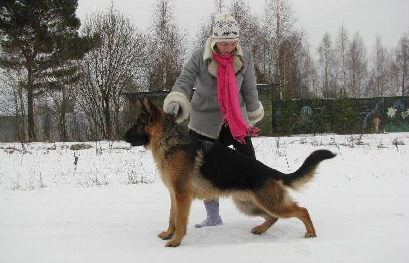 Подготовка собак к выставке с выездом к клиенту