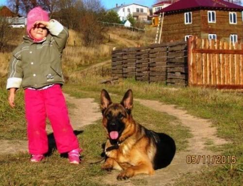 Немецкая овчарка Феликс