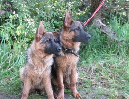 Немецкая овчарка Ивека и Ириска